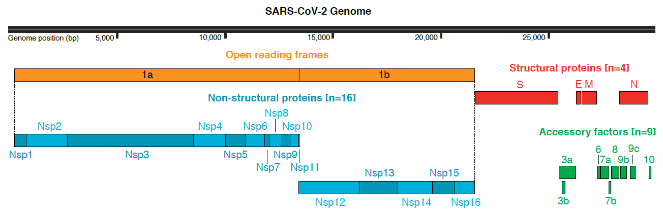 SARS_CoV_2-Genome